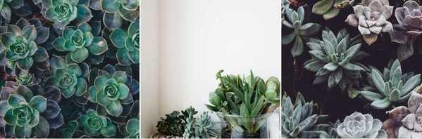 Uma fileira de três fotos de plantas: a primeira e a última mostram várias folhas de suculentas juntas, enquanto a foto do meio mostra suculentas em vasos numa parede branca de fundo
